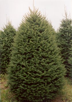 Picture this Maine Balsam Fir Christmas Tree in your home. Finestkindtreefarms.com