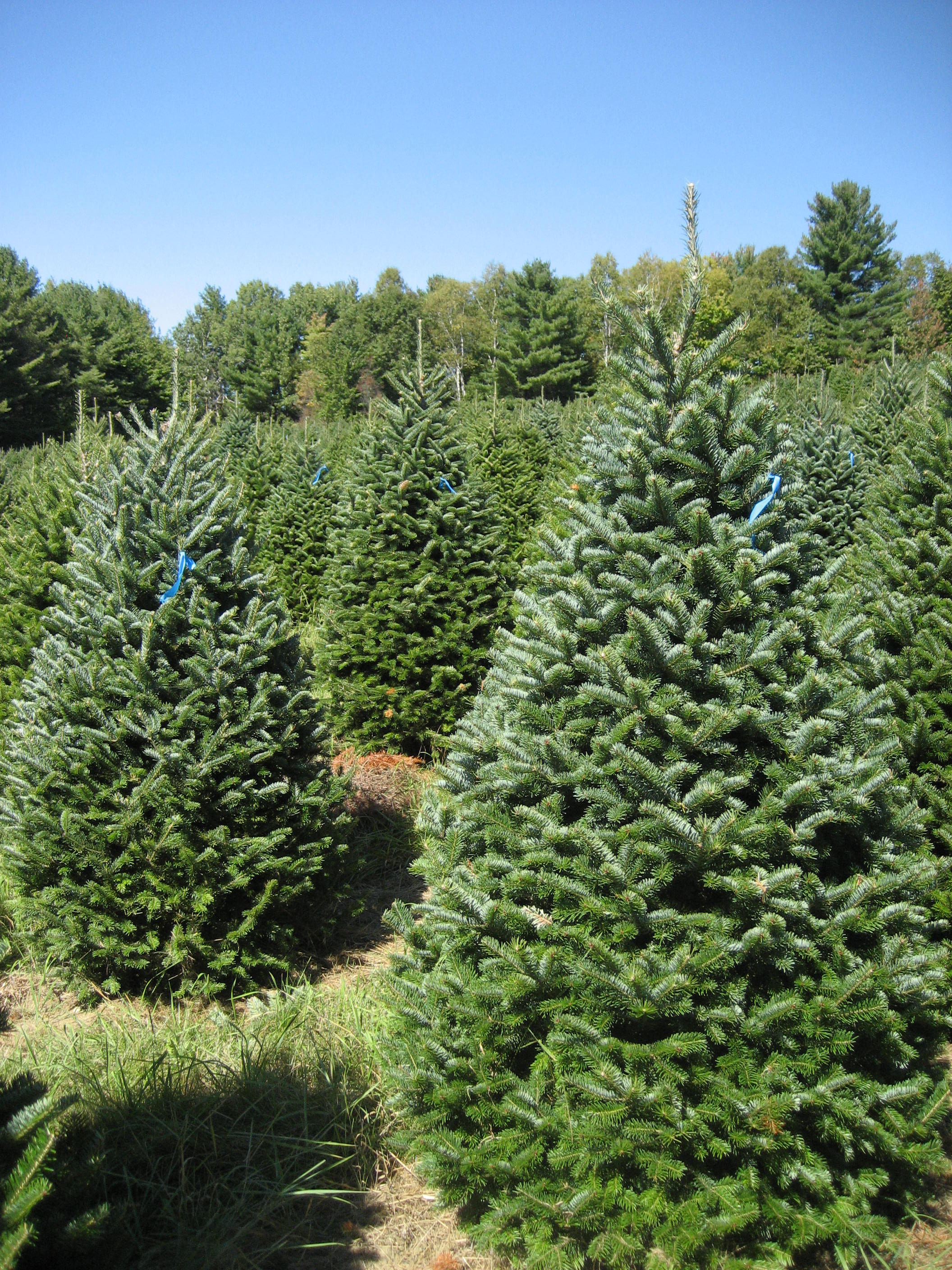 Selected Trees For Your Account - FinestKindTreeFarms.com