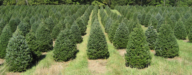 Maine Christmas Tree Farms